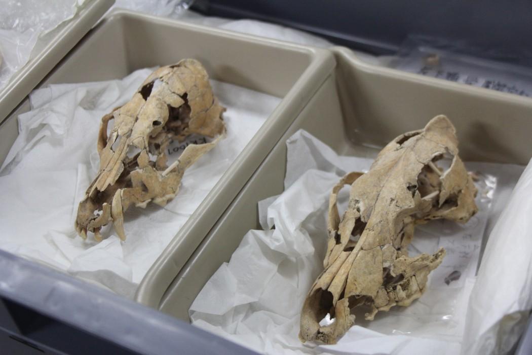 犬骨の頭部