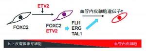 ETV2はヒト皮膚線維芽細胞内のFOXC2と共役して 血管内皮細胞遺伝子の発現を誘導する。 (提供:慶應義塾大学)